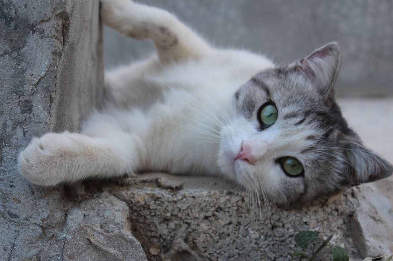 domestic cat, feline, pets, animal themes, domestic animals, mammal, one animal, cat, portrait, looking at camera, whisker, no people, lying down, relaxation, day, close-up, outdoors, nature
