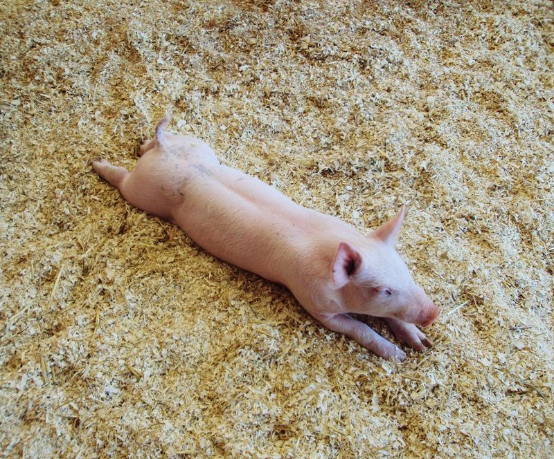 One Animal High Angle View Animal Themes Day No People Mammal Close-up Sand Beach Fish Nature Outdoors Pig STY Stretched Out Swine Pet Portraits