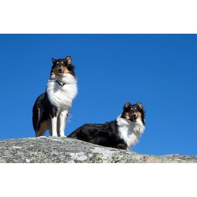 Molly and Kendza Collie RoughCollie Animallovers Dogloversofinstagram Doglovers Dogs Naturelovers Naturelover Ig_europe Ig_shotz Ig_scandinavia Tidningensydväst Inspiration Inspiring_photography_admired Inspired Lovelife Royalcaninhundensdag2015