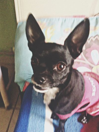 Dog Chihuahua Chata Black