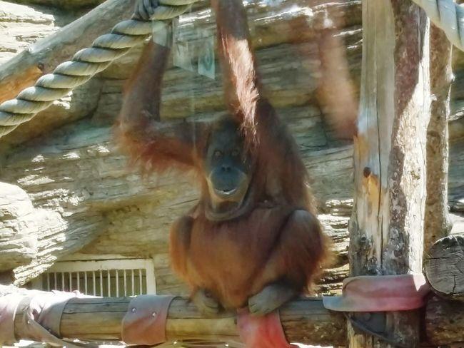 обезьяна московский зоопарк московскийзоопарк