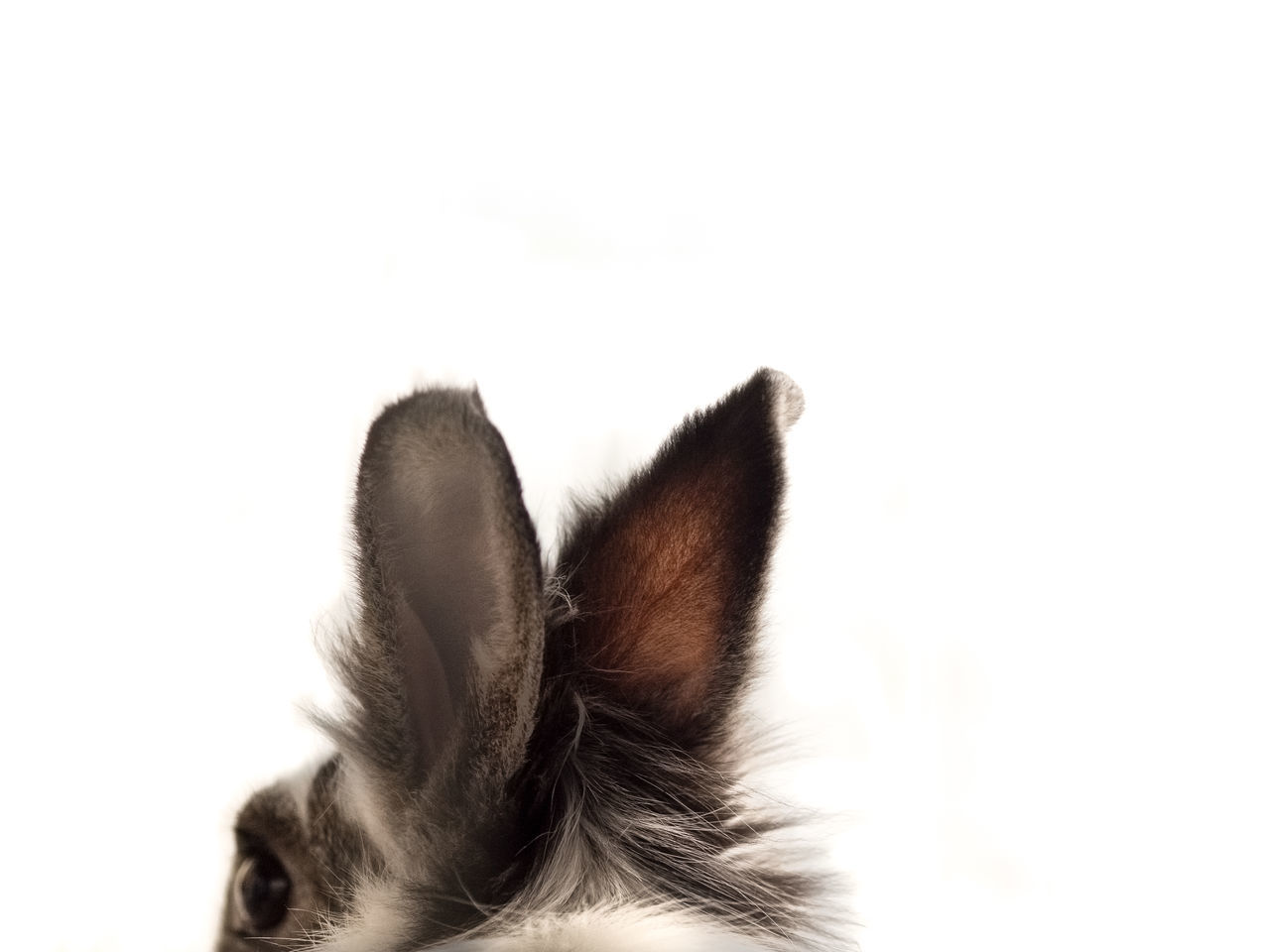 Beautiful stock photos of easter bunny, Animal Ear, Animal Themes, Animal Wildlife, Animals In The Wild