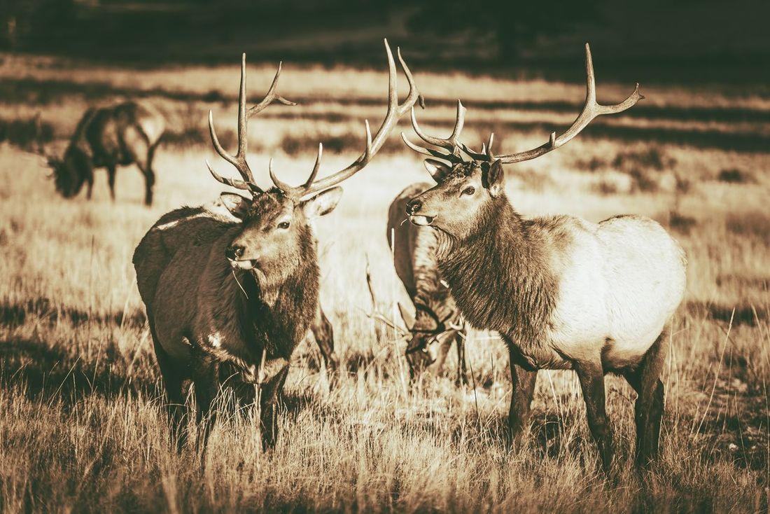Colorado Elks Gang in Estes Park. Colorado Wildlife. Vintage Brown Color Grading. Colorado Animal Themes Animal Wildlife Animals In The Wild Antler Day Elks Field Grass Mammal Nature No People Outdoors Stag