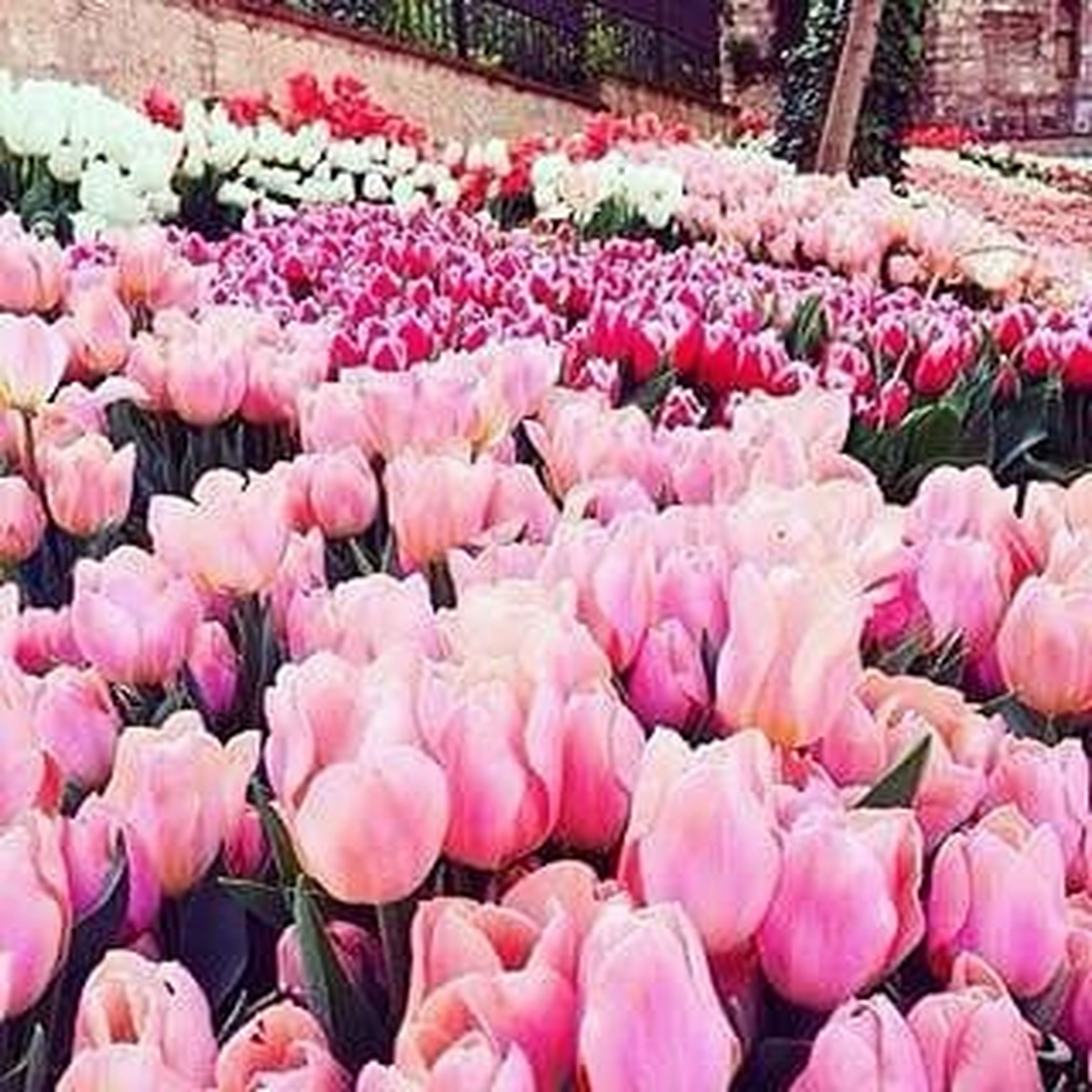 flower, freshness, pink color, abundance, fragility, petal, variation, for sale, beauty in nature, tulip, nature, blooming, retail, large group of objects, pink, flower head, choice, outdoors, high angle view, growth