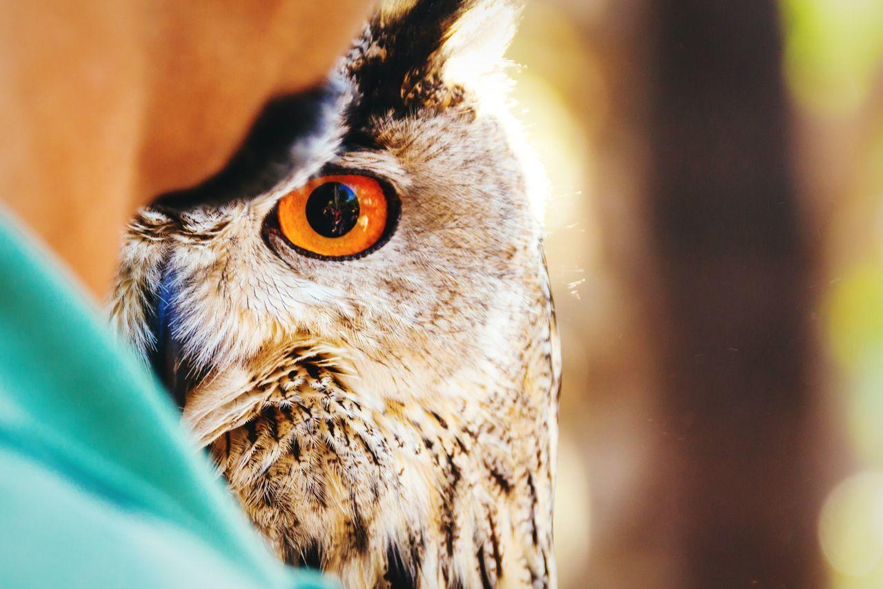 Beautiful stock photos of owl, Animal, Animal Body Part, Animal Eye, Animal Head