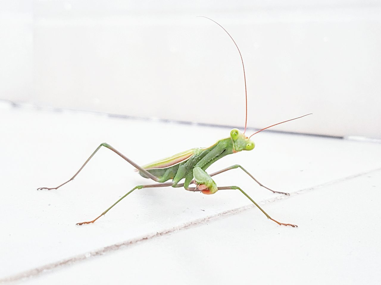 Preymantis Greenbug Green Bug Exotic Whitetiles Antenae Insect Wildlife Animal Antenna Praying Mantis Close-up Focus On Foreground Nature