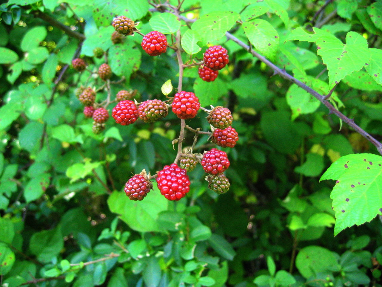 Berry Fruit Blackberry10 Close-up Fruit Leaves No People Red Südtirol Unripe