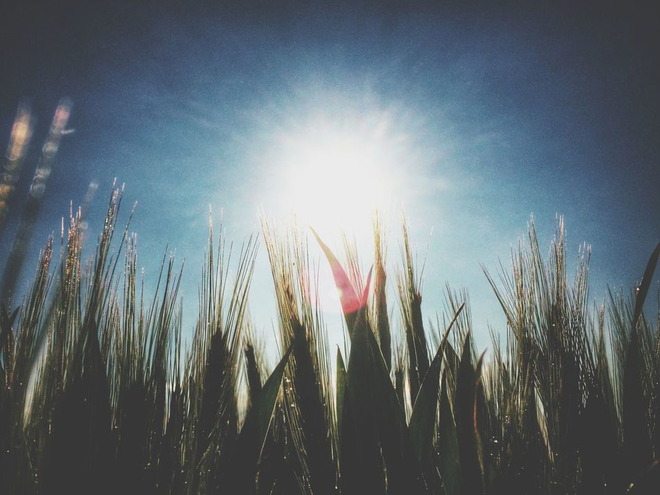 Beautiful stock photos of sun, Agriculture, Clear Sky, Close-Up, Crop