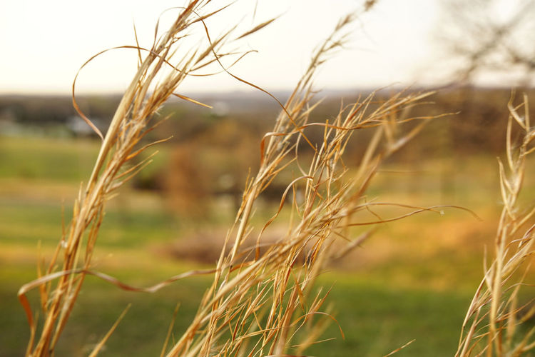 Cereal Plant Crop  Agriculture Wheat Rural Scene Farm Field Nature Plant Close-up Growth Gold Colored Straw Wholegrain Food Staple Rye - Grain Ear Of Wheat Whole Wheat No People Idyllic