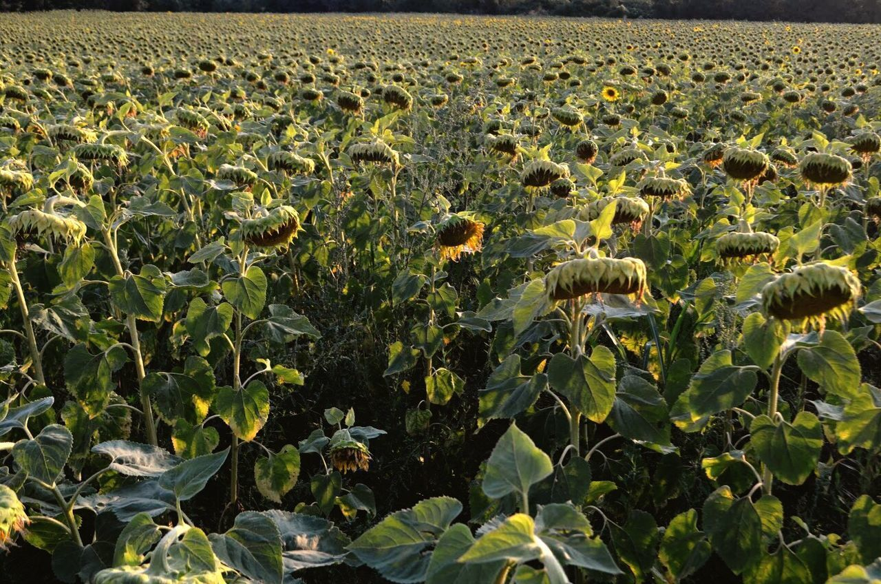 Growth Agriculture Nature Field Plant Outdoors Day Beauty In Nature Sunflower Rural Scene Leaf Sunflower Summer Sunflowers Girasoles EyeEm Nature Lover EyeEm Gallery Flower No People Freshness Sky