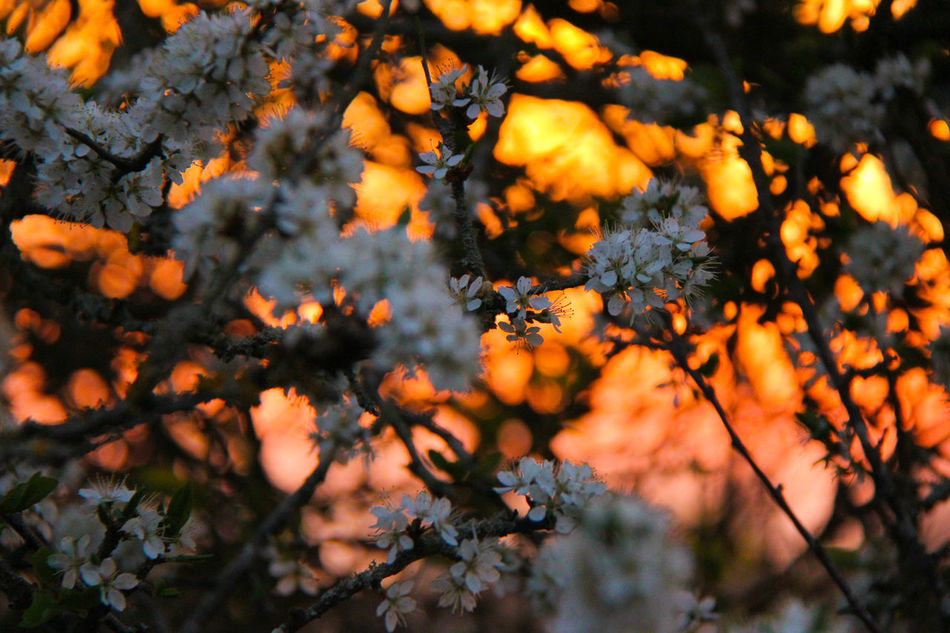 Backgrounds Beauty In Nature Blossom Close-up Day Growth Hawthorn Nature No People Orange Orange Sky Outdoors Plant Sunset Tree