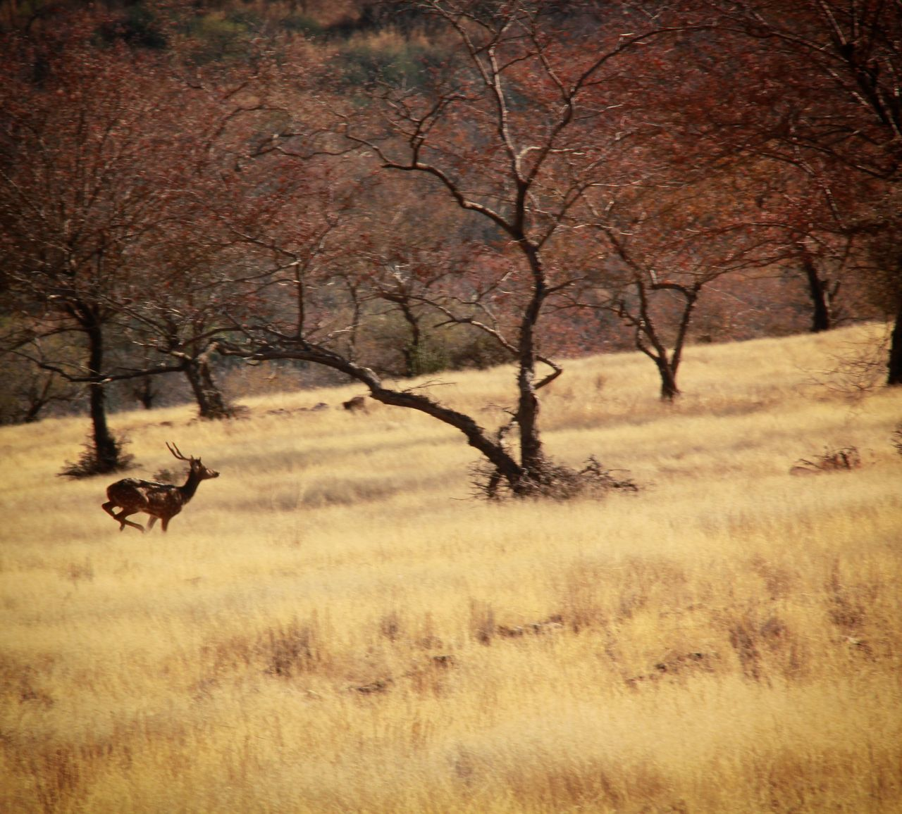 Indian Ghazal JungleExperience Jungle Safari Ranthambore National Park Wilderness Outdoors Animals In The Wild Day Sky Grass No People