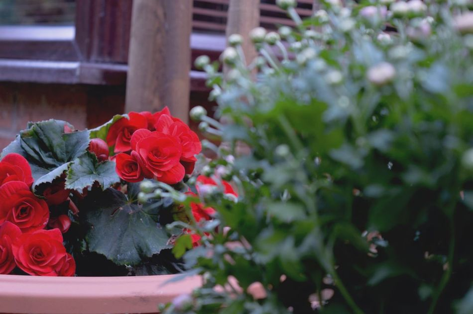 Roses will be roses🌹 Taking Photos Getting Inspired Simplicity Minimalism Roses EyeEm Best Shots Summer Nature Flowers Plants