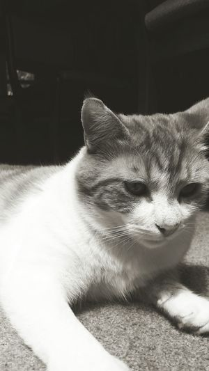 Black and white and ginger Black And White Cute Cat Pets