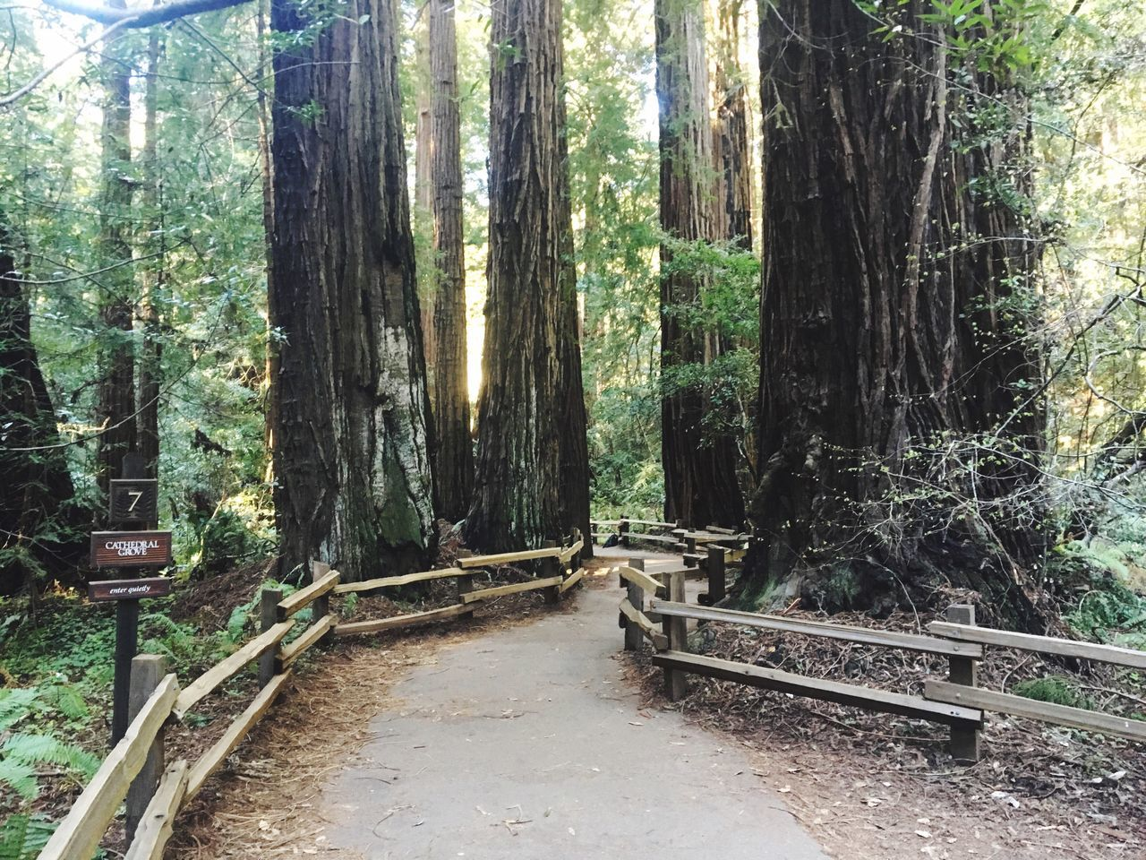 IPhoneography IPhone Photography Iphonephotography Tree Forest Nature Tree Trunk WoodLand Growth Tranquil Scene Tranquility No People Day Beauty In Nature Scenics Outdoors Woods Bamboo Grove Muir Woods
