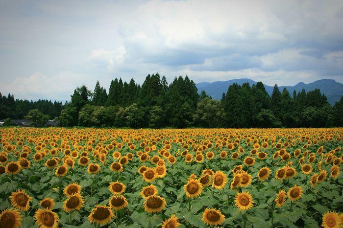 ジャ~ン❇The Sunflowers🌻 Summer ☀ Nature Photography Flowerporn Flower Collection Naturelovers Flowerlovers Sunflower Enjoying Life Taking Photos 楽しみ隊 向日葵畑のスケールに\(^^)/