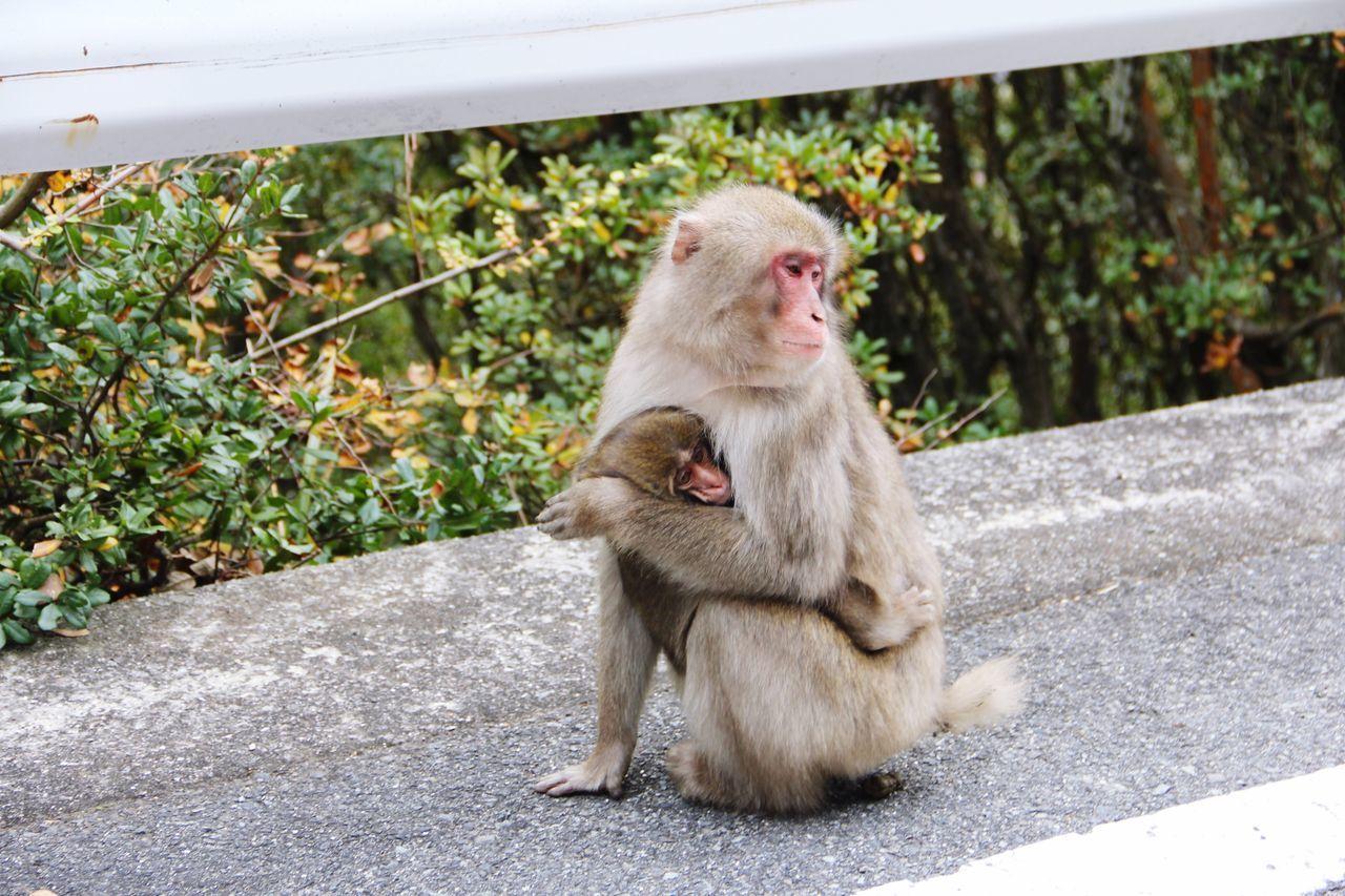 小豆島 香川 日本 Japan Travel 寒霞渓 Animals In The Wild Monkey Animal Themes Outdoors Day Mammal Sitting Animal Wildlife No People Young Animal Nature Togetherness Japanese Macaque Have A Nice Day!