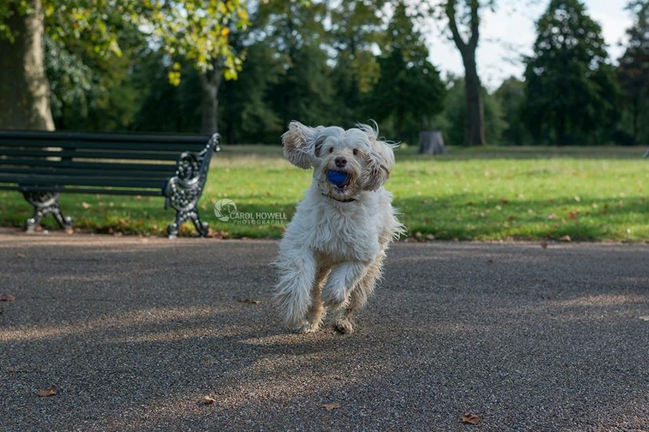 Run like you stole it! I Love Dogs Nikon Happy Wolfe Does UK Pet Photography  Pets Corner London Labradoodle