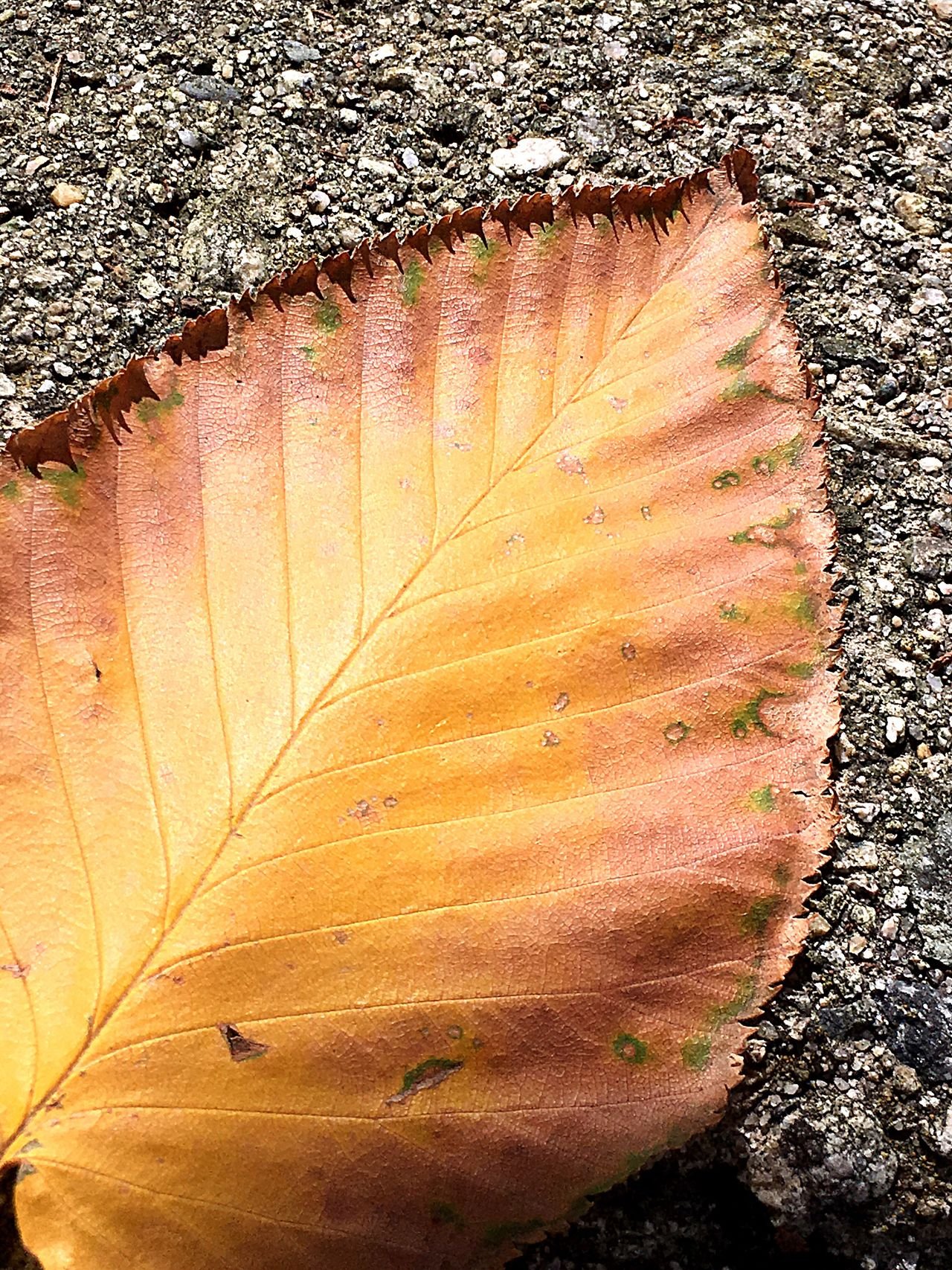 Leaf Autumn Leaves Fallen Fall Leaves Macro Lines, Shapes And Curves Patterns In Nature Pattern, Texture, Shape And Form Lines Symmetry Symmetry In Nature Pavement Outdoors