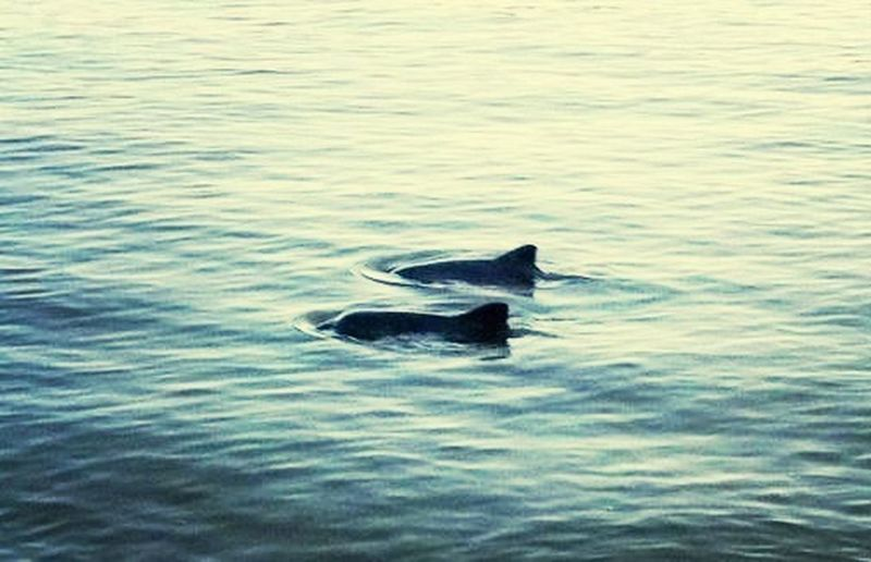 Schweinswale (harbour porpoise) gesichtet ❤️ Check This Out Nature Sailing Baltic Sea