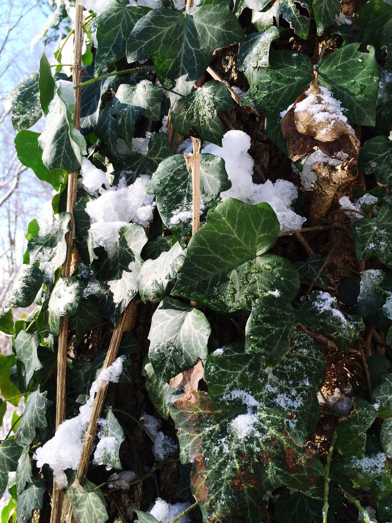 Odenwald  Have A Walk Snow Efeu