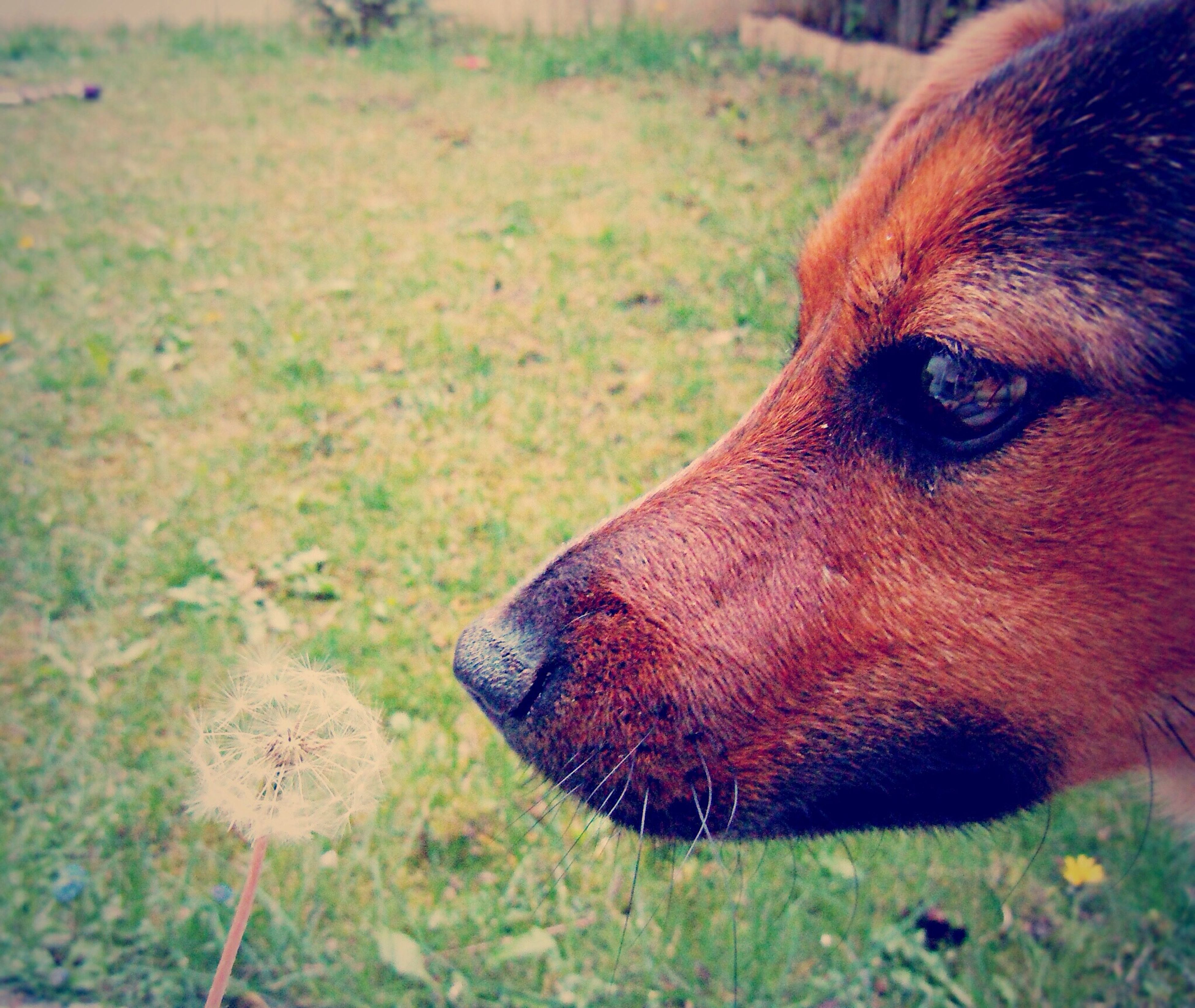 animal themes, one animal, domestic animals, mammal, pets, animal head, close-up, grass, dog, focus on foreground, animal body part, field, brown, part of, looking away, day, portrait, grassy, outdoors, nature