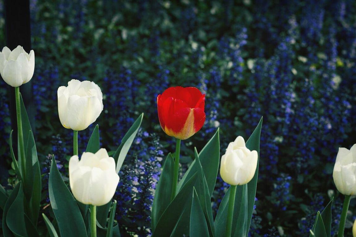 Tulip Iranian Garden Landscape Flowers