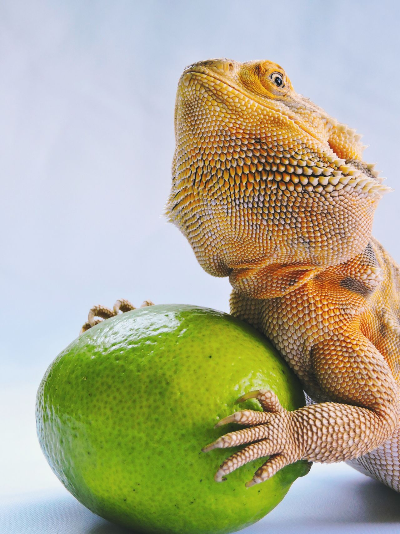 Bearded Dragon Pet Lemon Holding Sitting Studio Shot Green Yellow Orange White Background Detail Close-up Fruit One Animal No People Animal Themes Nature Freshness Vibrant Lizard Leatherback Animal Reptile Photography EyeEm Best Shots Check This Out
