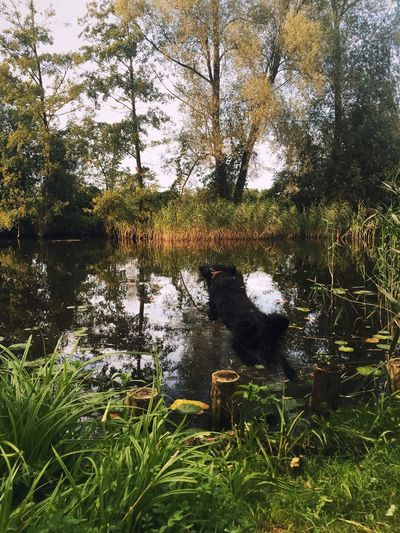 Autumn Woods Nature Wildlife & Nature Nature_collection Nature Photography Outdoors Forrest Lake Dog Swimming Dog Sprung Ins Kalte Wasser Jump In The Water  Black Dog Countryside Green Wildlife Wild
