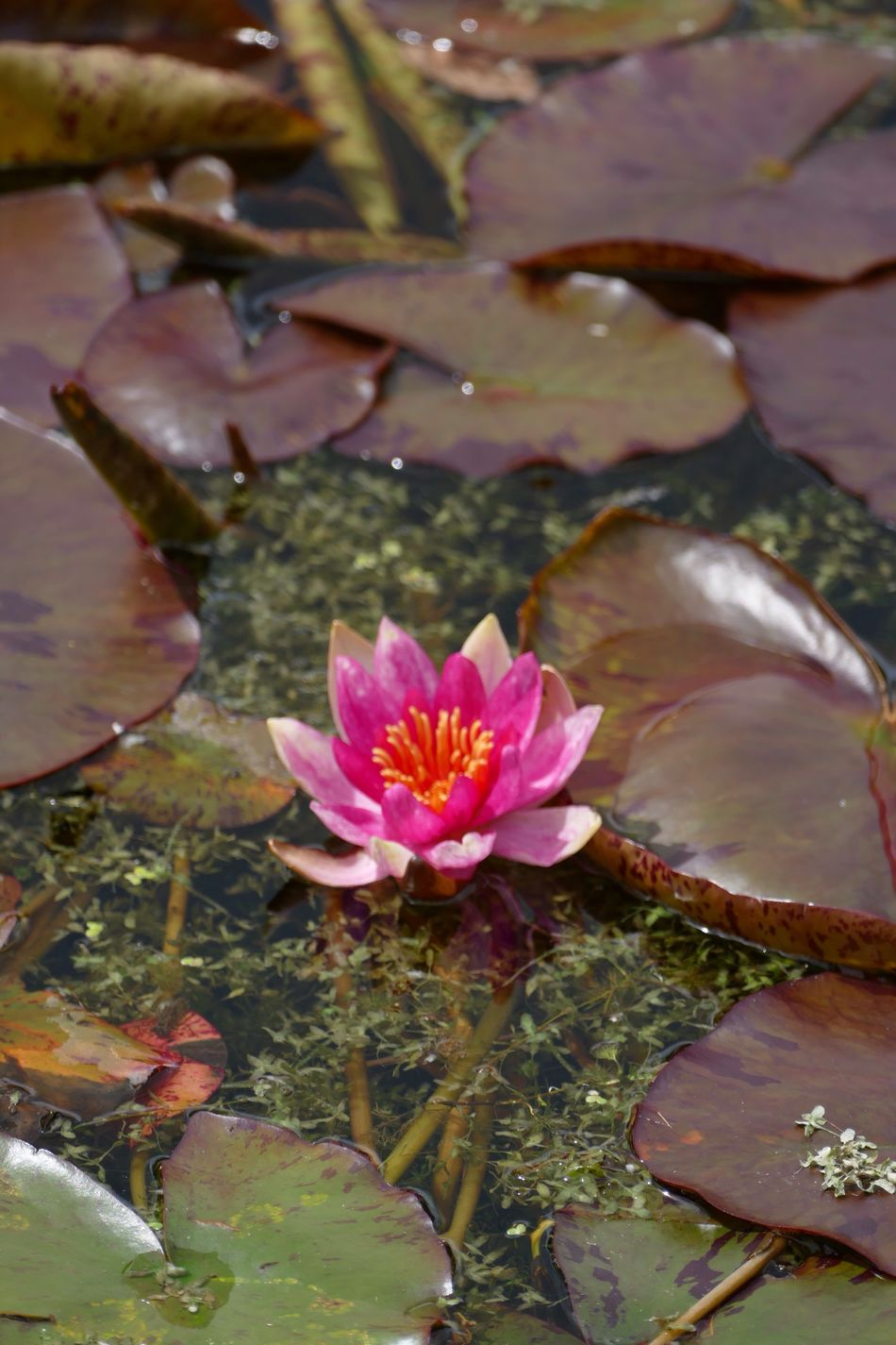 Lily Flower Lily Water Water Lily Water Lillies Water Lilies. Lilly Pads. Water Lily, Flower LUMIX DMC FZ1000 Natures Diversities Nature's Diversities Flowers,Plants & Garden Flower Collection Red Flower Red Flowers