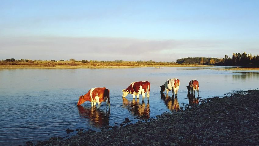 Chile Tranquil Scene Animal Beauty Of Nature Calm EyeEm Golden Hour Eyeemphotography Wildlife Silent Moment Water Cows My Year My View Eyem Best Shots Miles Away