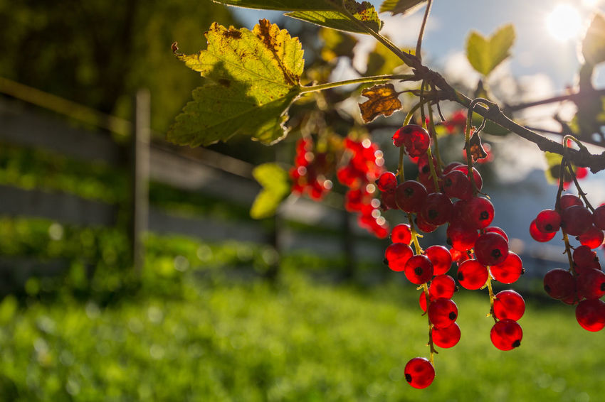 Rote Johannisbeere / Ribisel (Ribes rubrum) Ribes Rubrum Ribisel Summertime Beauty In Nature Close-up Day Focus On Foreground Food Food And Drink Freshness Fruit Green Color Growth Healthy Eating Leaf Nature No People Outdoors Red Rote Rote Johannisbeeren Rowanberry Summer Tree