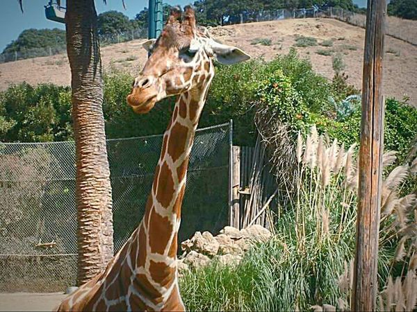 This Week On Eyeem My Point Of View Nature Photography Oakland Zoo My Photography Giraffe