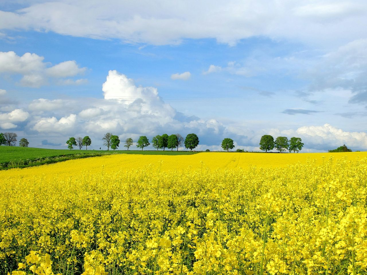 Agriculture Crop  Field Cloud - Sky Rural Scene Beauty In Nature Farm Nature Yellow Growth Flower Sky Day Outdoors Freshness Scenics Summer Tranquil Scene Landscape Poland Warmia The Great Outdoors - 2017 EyeEm Awards