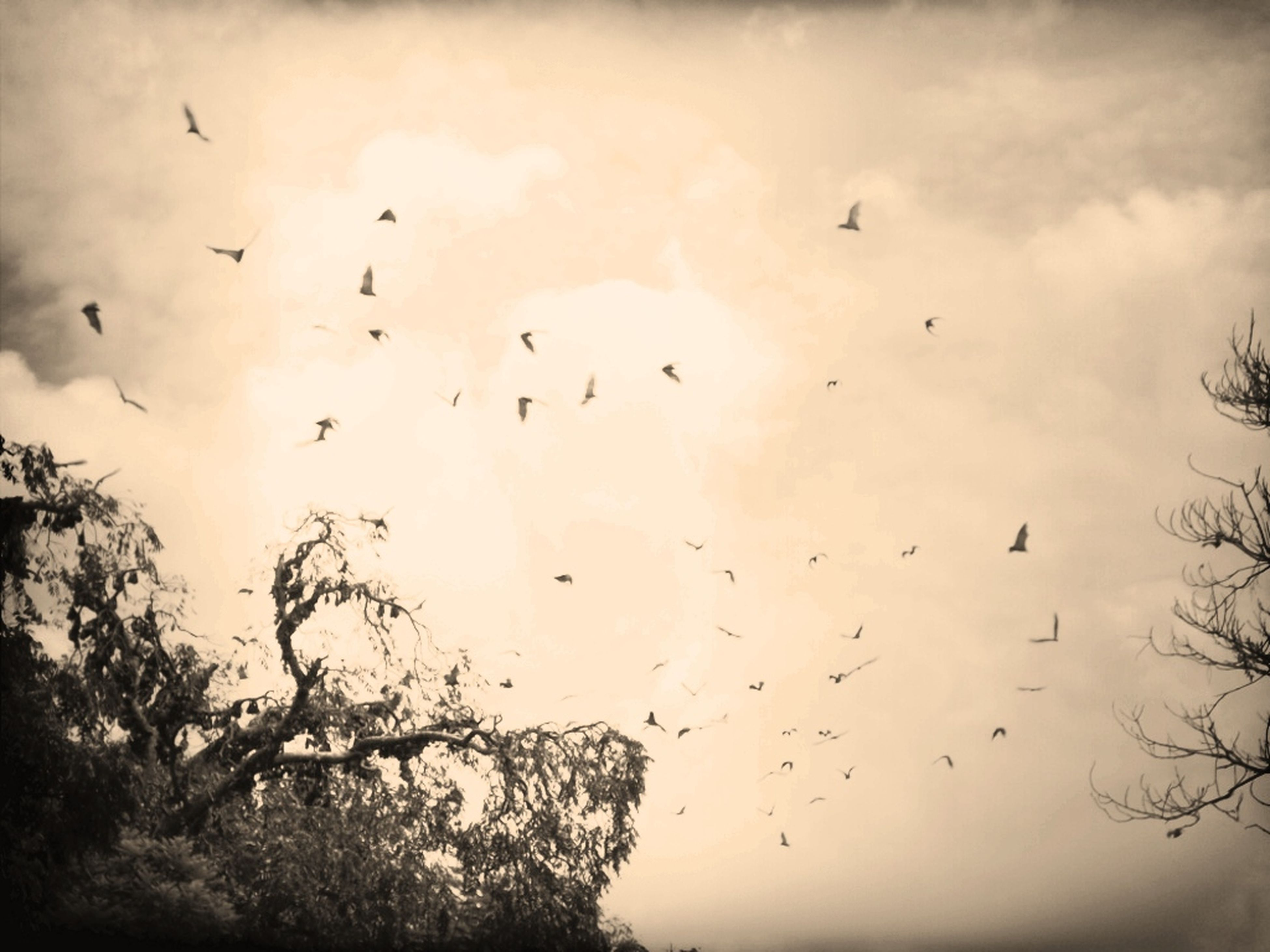 bird, flying, animals in the wild, animal themes, sky, wildlife, flock of birds, low angle view, silhouette, tree, nature, cloud - sky, beauty in nature, tranquility, mid-air, cloudy, outdoors, scenics, cloud