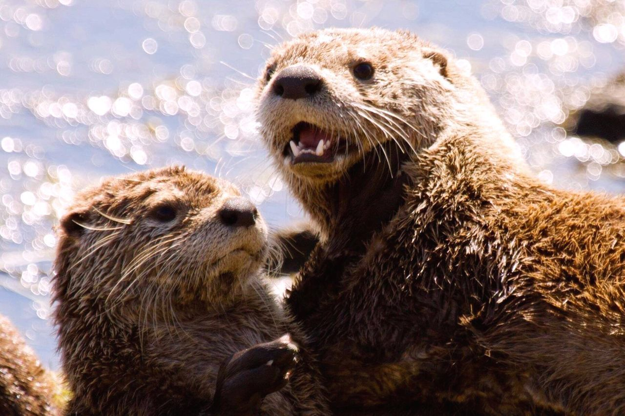Yellowstone River Otters. Nature Wildlife Outdoors Travel Photography Adventure Travel River Otters Yellowstone National Park.