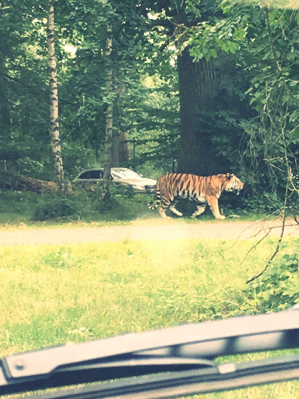 one animal, animals in the wild, animal themes, day, animal wildlife, nature, mammal, wildlife, green color, grass, tree, safari animals, animal markings, no people, plant, feline, outdoors, zebra, leopard