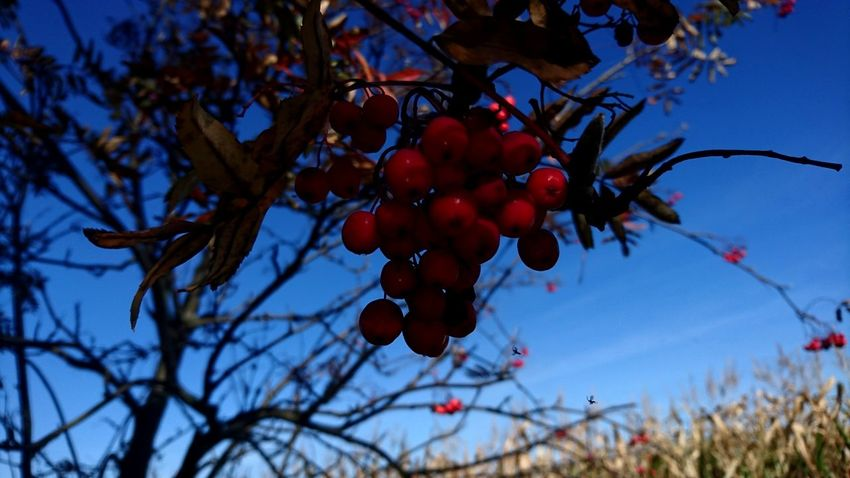 Fruit Tree Red Food And Drink Branch Sky No People Outdoors Plant Growth Agriculture Nature Leaf Blue Healthy Eating Day Close-up Freshness Food Beauty In Nature
