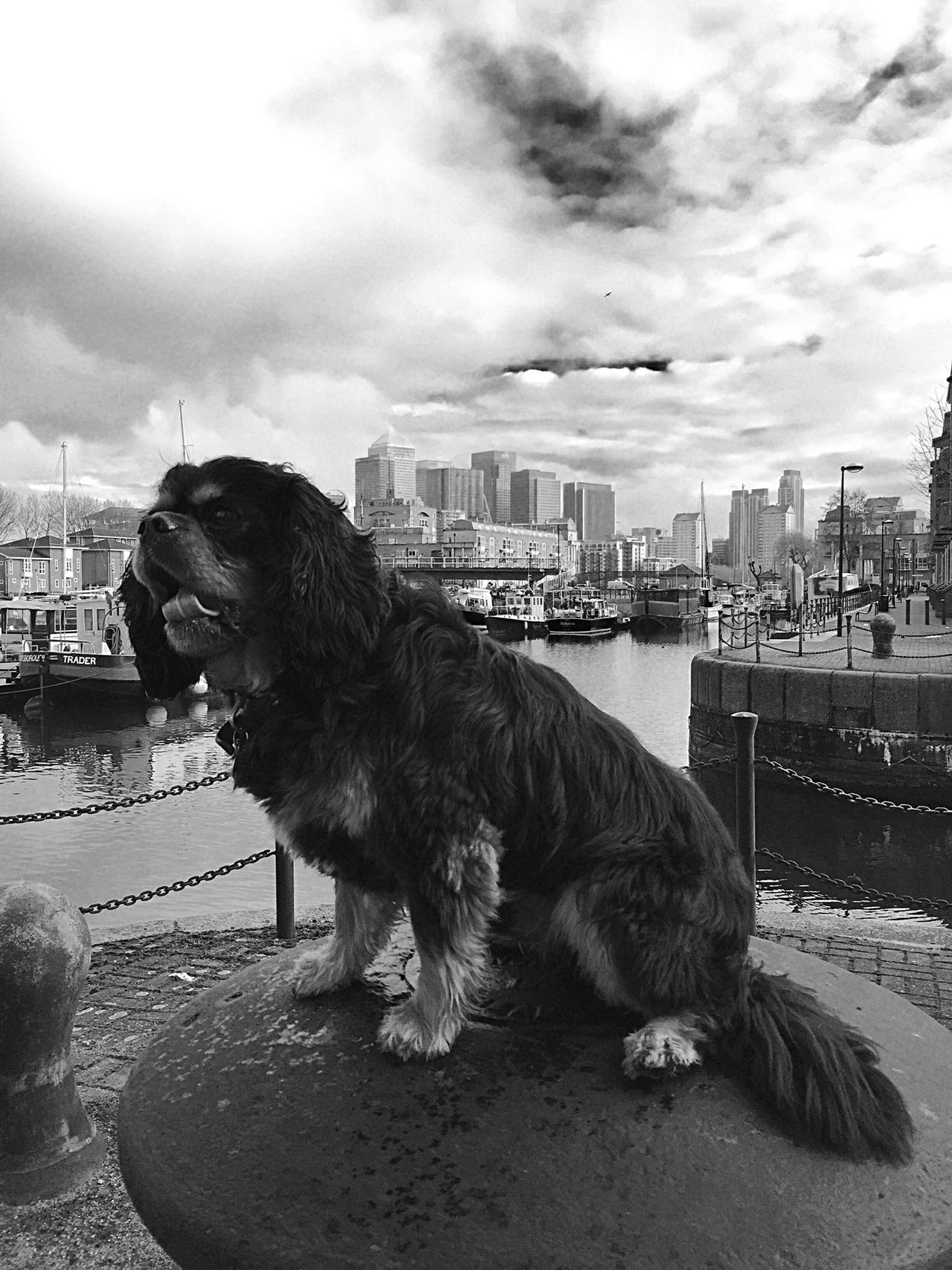 London I Love My Dog Monochrome Black & White Lion Of London Cavalier King Charles Spaniel Dog