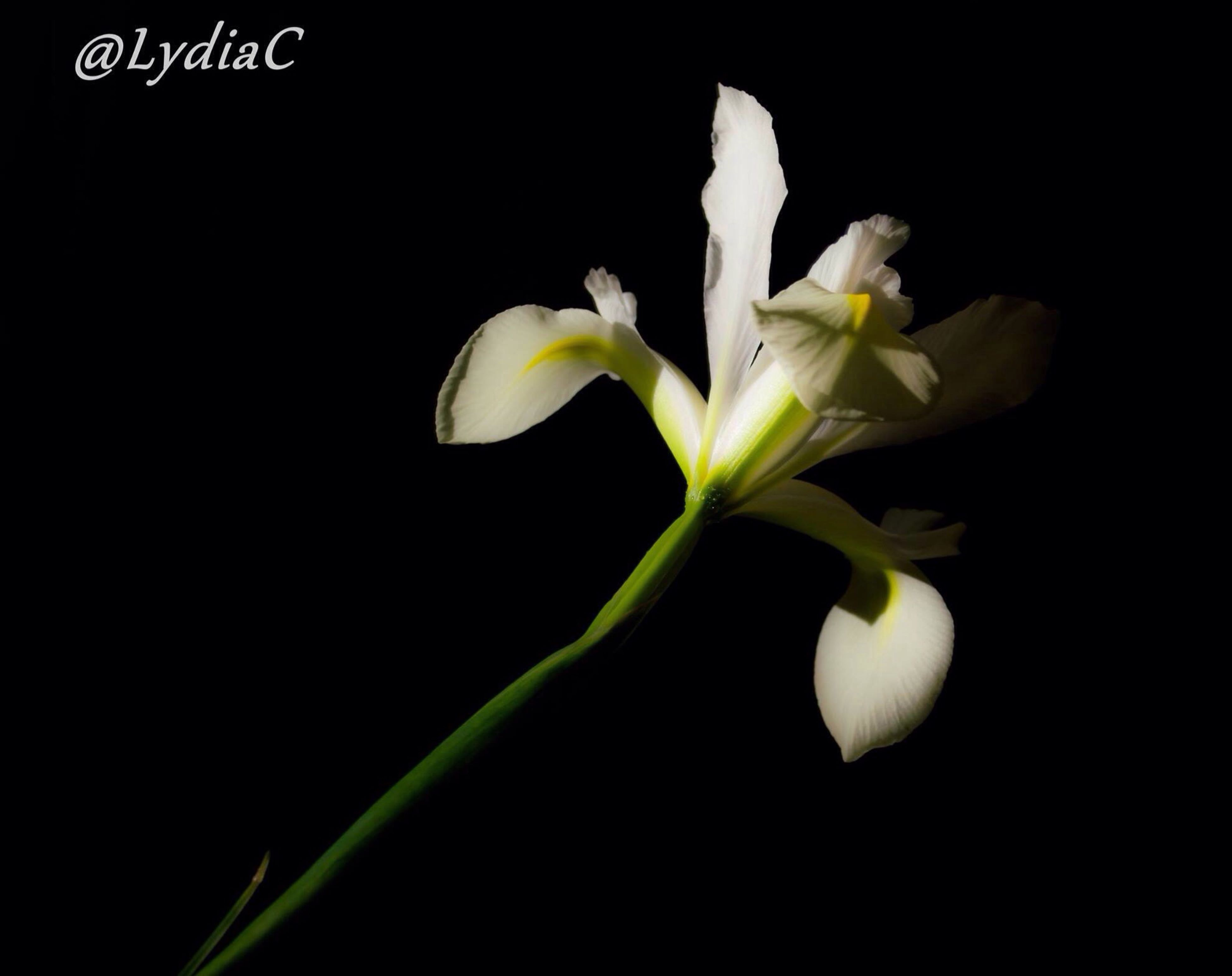 flower, freshness, black background, studio shot, fragility, flower head, petal, growth, white color, beauty in nature, close-up, nature, stem, copy space, plant, bud, night, white, blooming, green color