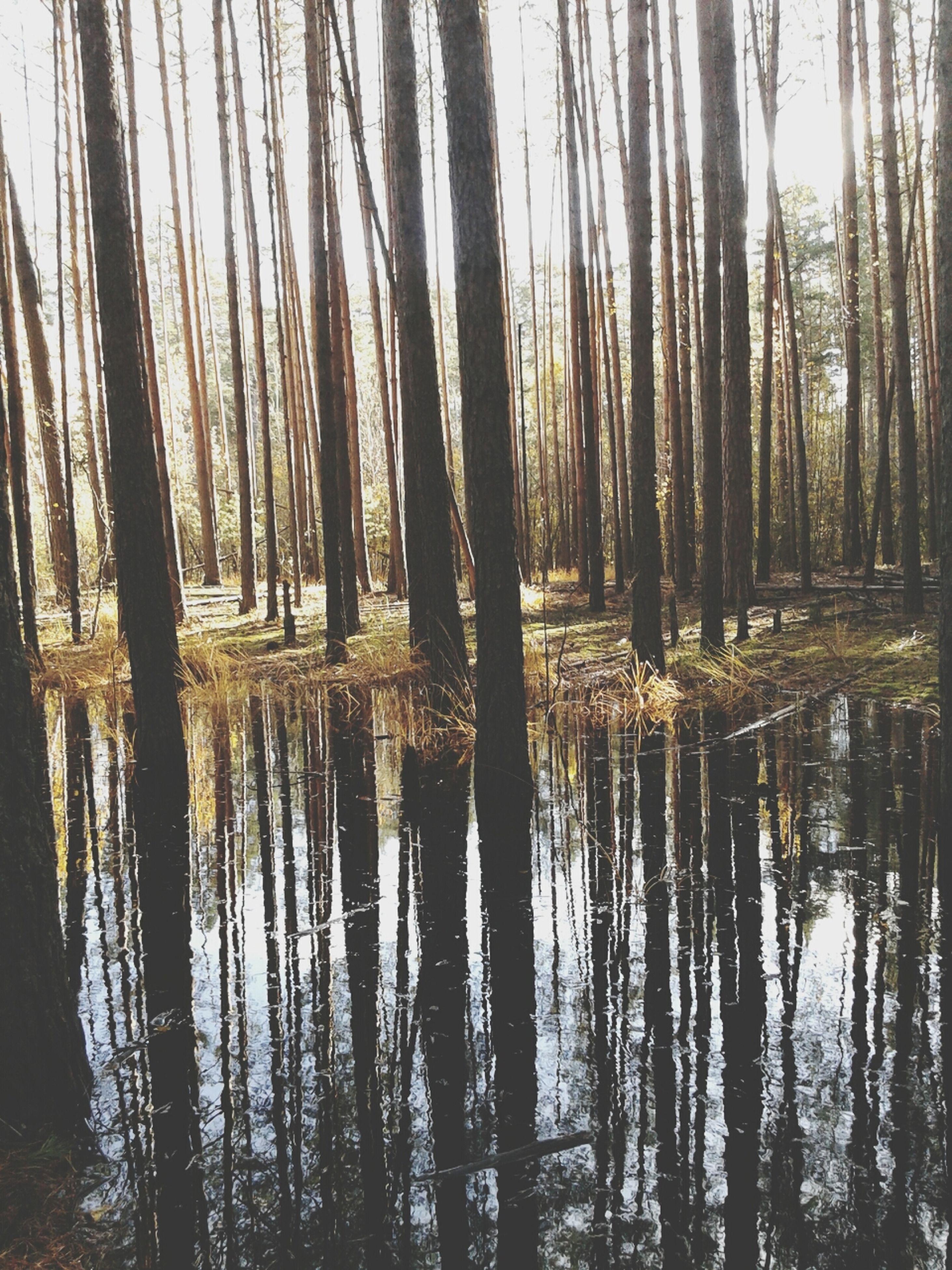 water, tree, tranquility, reflection, tranquil scene, lake, tree trunk, forest, nature, scenics, beauty in nature, waterfront, woodland, growth, idyllic, non-urban scene, day, no people, outdoors, standing water