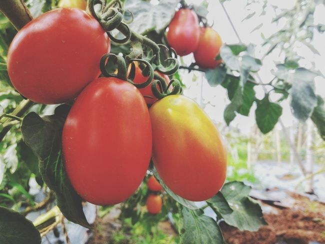 Red Tomatoes Breeding