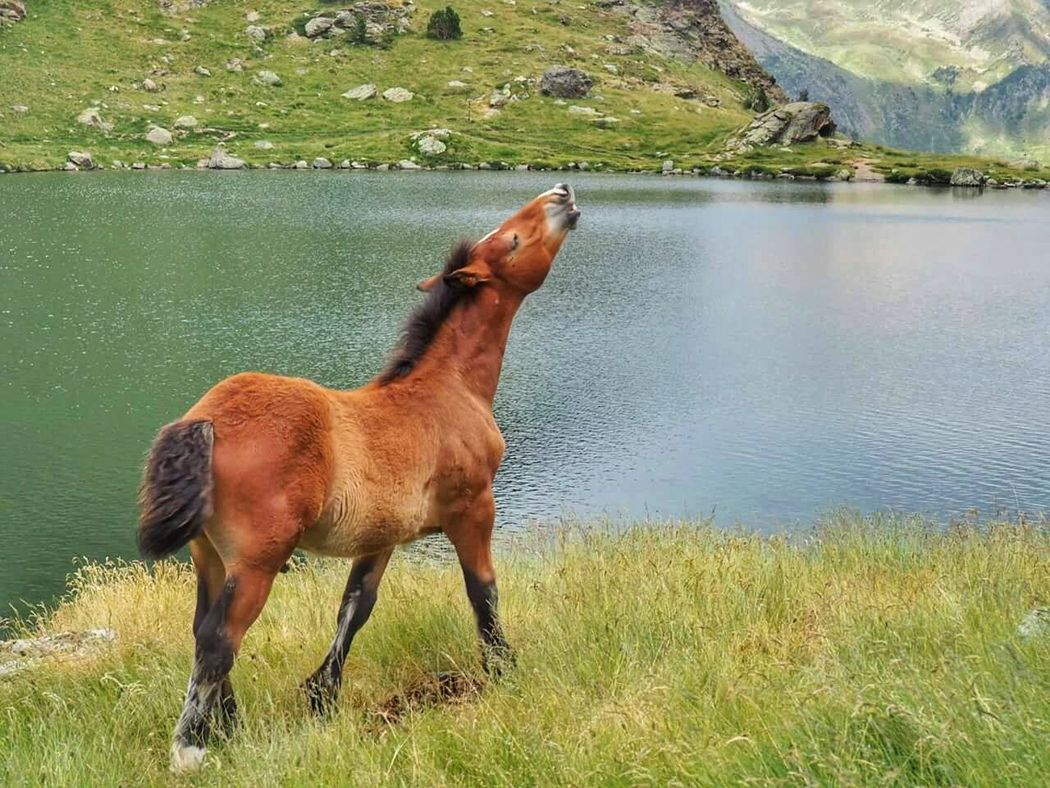 Flehmen response in young wild horse, searchig his mum Horse Horses Ilovehorses Animals Animals In The Wild Animals Posing Horse Life Mountain Horse Photography  Landscapes With WhiteWall Lake Telling Stories Differently The Great Outdoors With Adobe Nature's Diversities Original Experiences in Andorra TCPM Pet Portraits