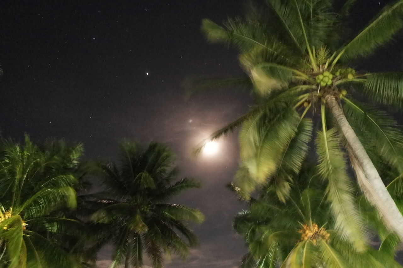palm tree, tree, night, nature, beauty in nature, no people, growth, scenics, outdoors, plant, moon, sky