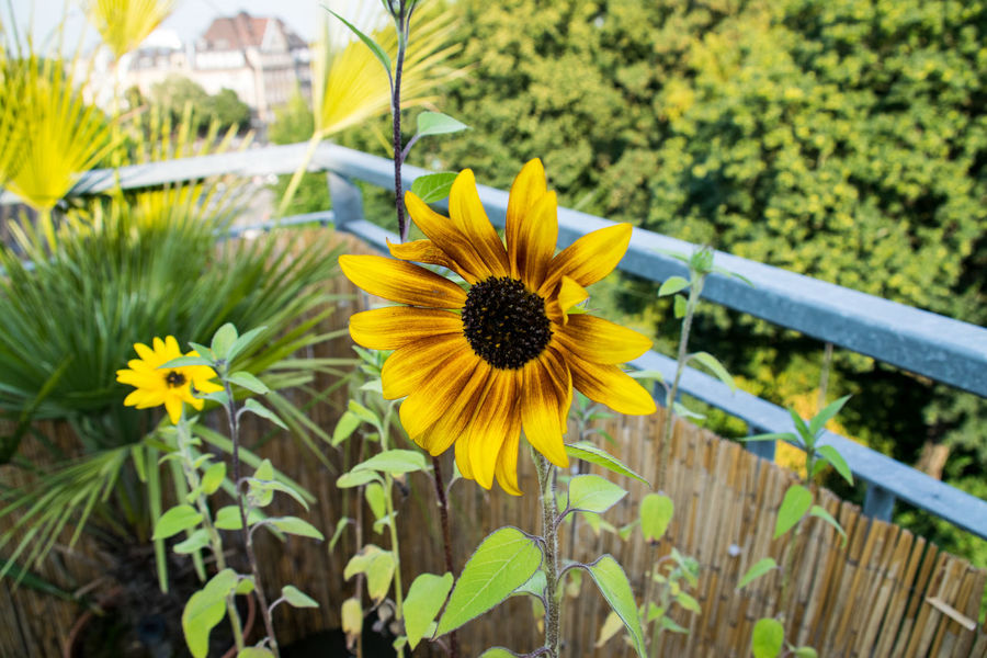 B Balcony Balcony View Canoma Photography Pflanzen Plant Sonneblume Sunflower Urban Landscape First Eyeem Photo