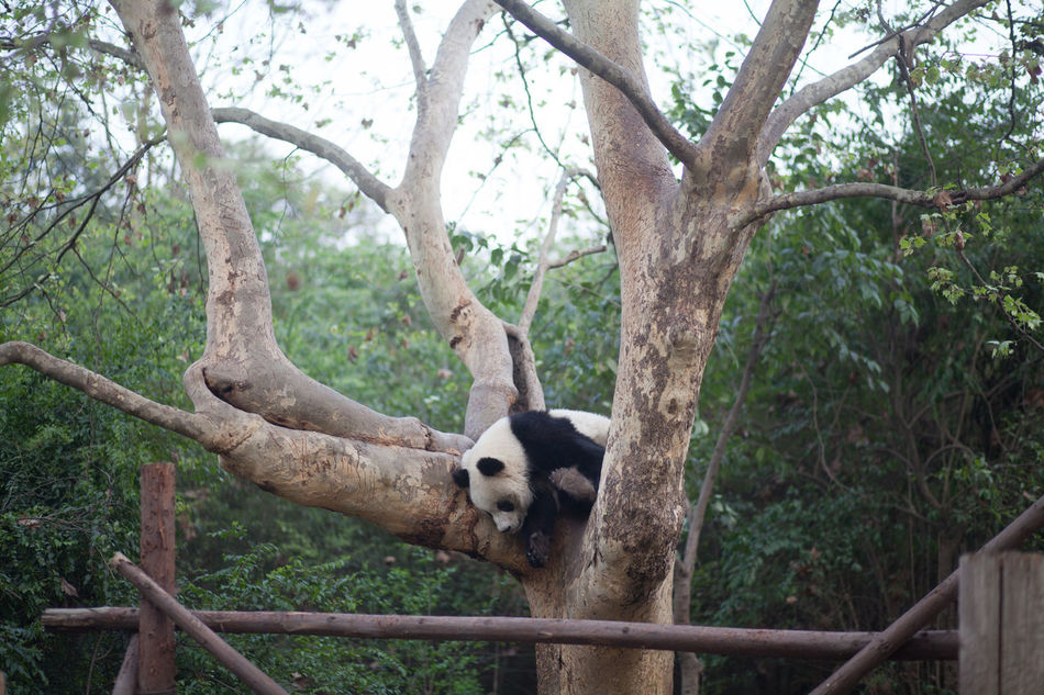 Beautiful stock photos of panda, Animal Themes, Animals In The Wild, Branch, Day