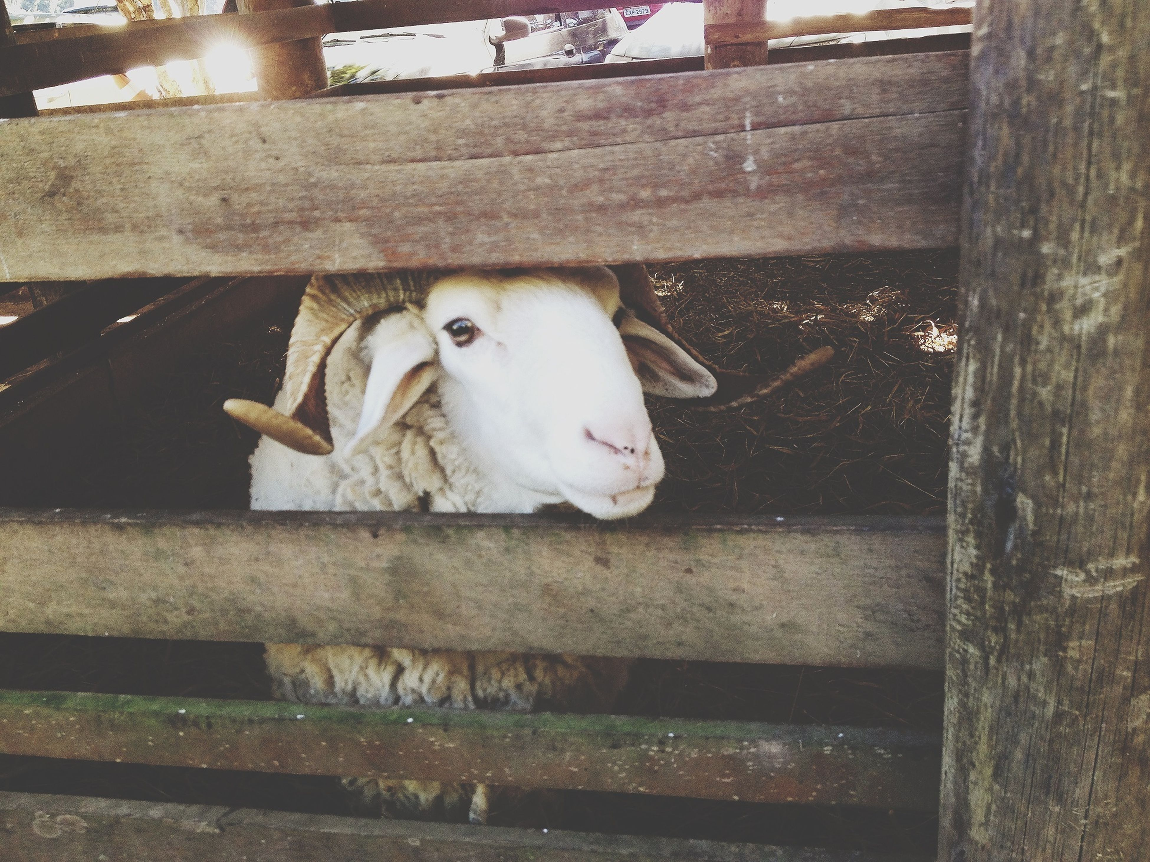 animal themes, domestic animals, one animal, mammal, livestock, fence, white color, looking at camera, portrait, close-up, zoology, animal head, standing, front view, outdoors, no people, day, white, wood - material, young animal