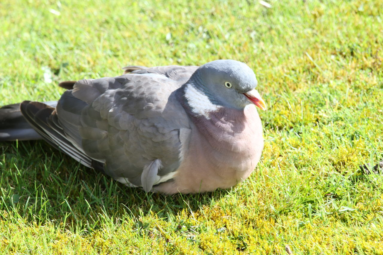 Animal Themes Animal Wildlife Animals In The Wild Beauty In Nature Bird Close-up Day Fanned Out Feather  Grass Green Color Looking At Camera Nature No People One Animal Outdoors Pigeon Spread Wings Sunbathing Sunlight