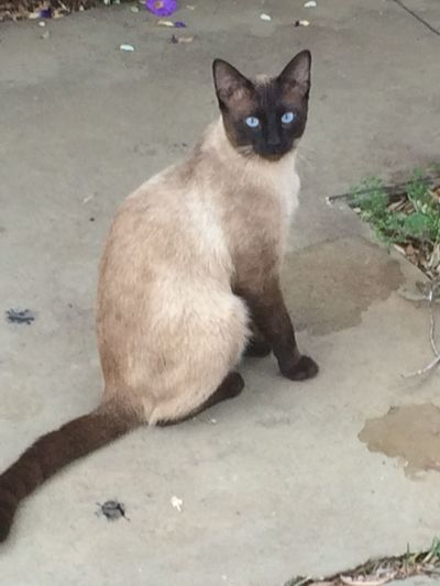 Not very day we see a Siamese cat in the streets.... Animal Cat Domestic Animals Domestic Cat Feline Looking At Camera One Animal Pets