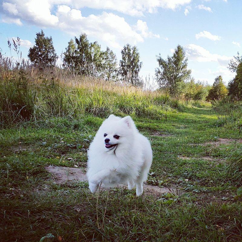 собака шпиц шпицвпрыжке Природа Лес осень ранняяосень Сентябрь сентябрь2017 Dog Nature Nature_collection Forest Autumn🍁🍁🍁 Autumn Earlyautumn September September 2017